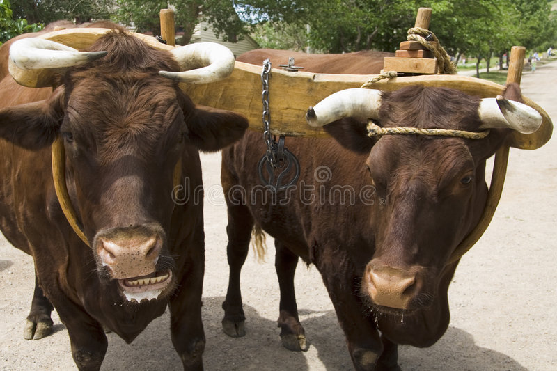 Pair of Oxen with Yoke royalty free stock image