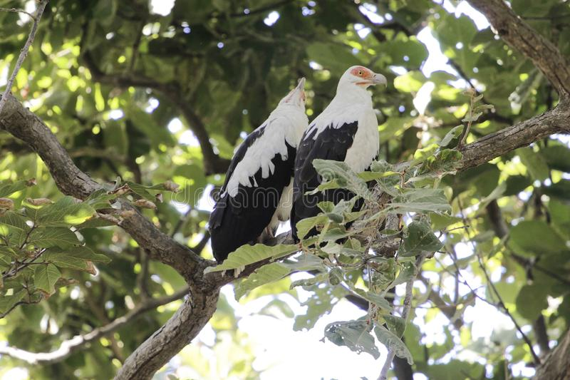 Pair of palm-nut vulture�s Gypohierax angolensis in a tree. A pair of palm-nut vulture�s Gypohierax angolensis in a tree in West Africa stock photo