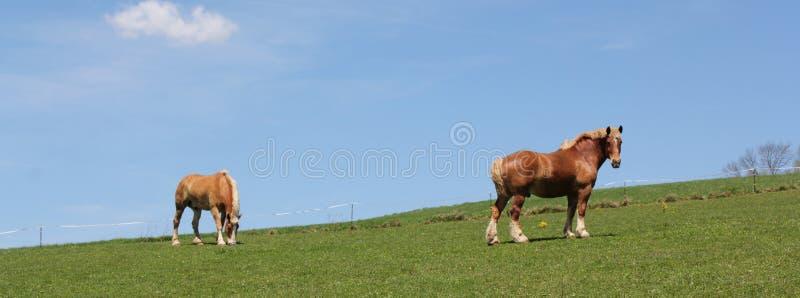 Pair of Palomino horses stock image
