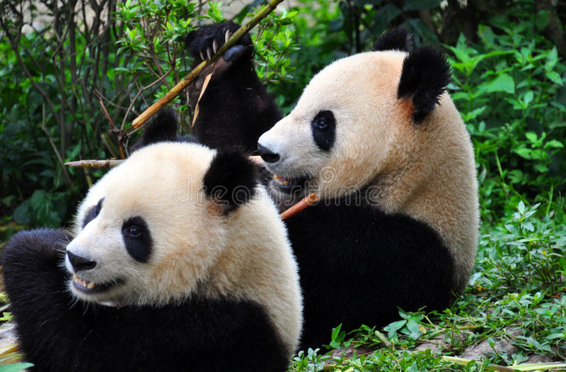A pair of Pandas at Chengdu. stock image