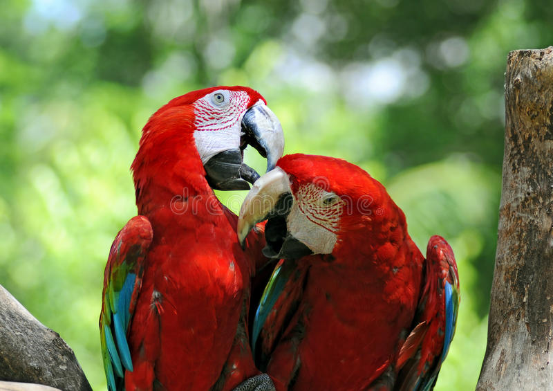 Pair of parrots stock photos