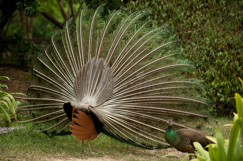 Download Pair of peacocks . stock image. Image of grand, blue - 24497941