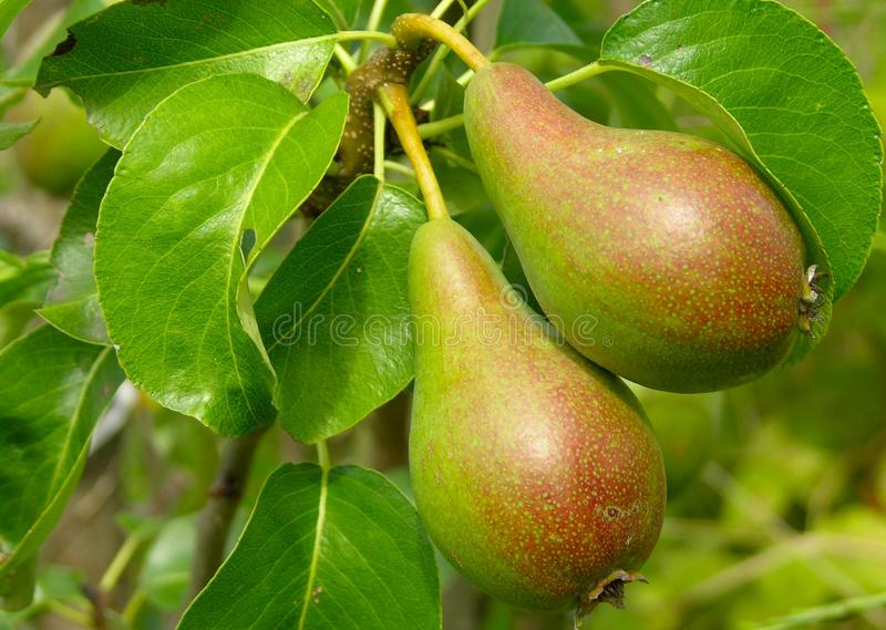 A Pair of pears stock image