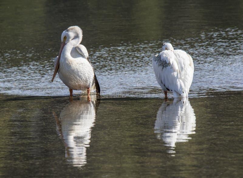 A pair of pelicans stock photos