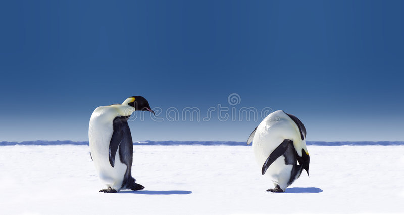 Pair of Penguins. One penguin sticks its neck out to peer what what the other penguin is doing. The two penguins are standing on a flat snow-covered area with stock photos