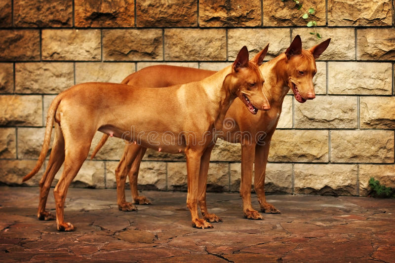Pair of Pharaoh dogs royalty free stock photography
