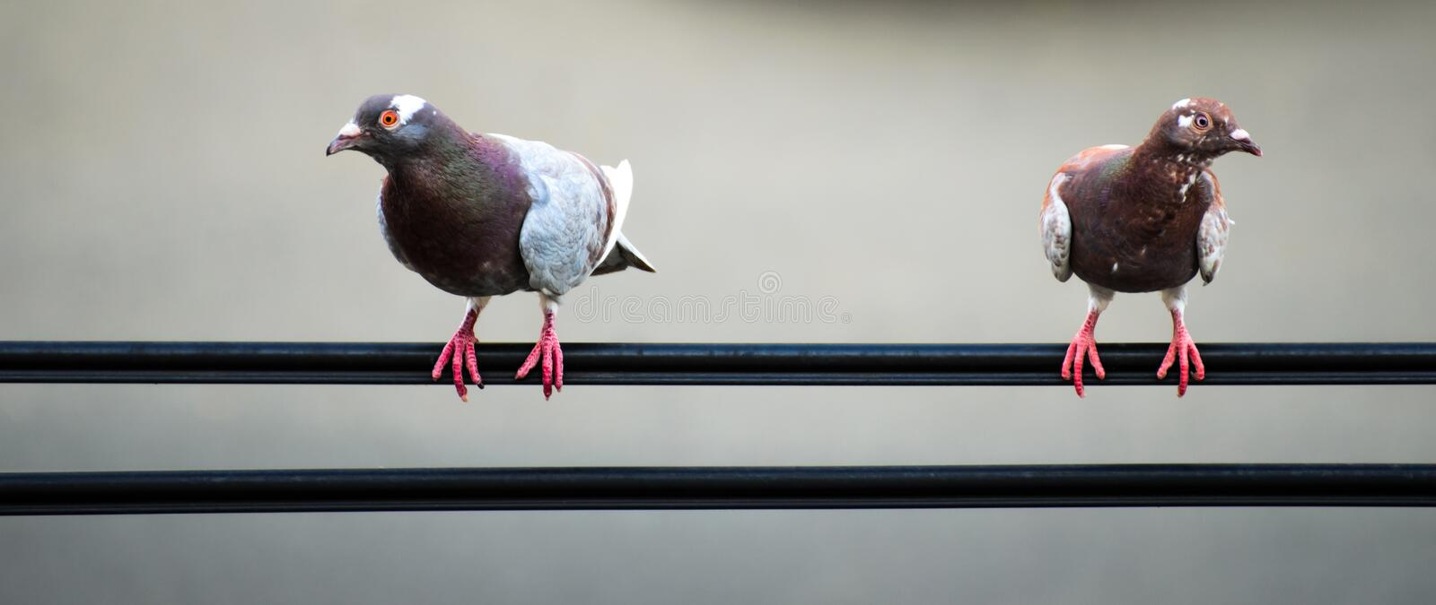 Download Pair of pigeons stock photo. Image of clear, dawn, beautiful - 26250922