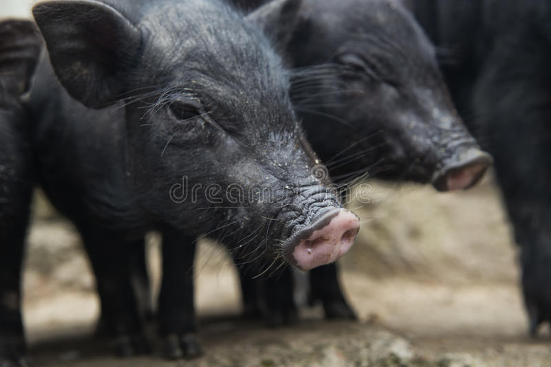 A pair of pigs stock image