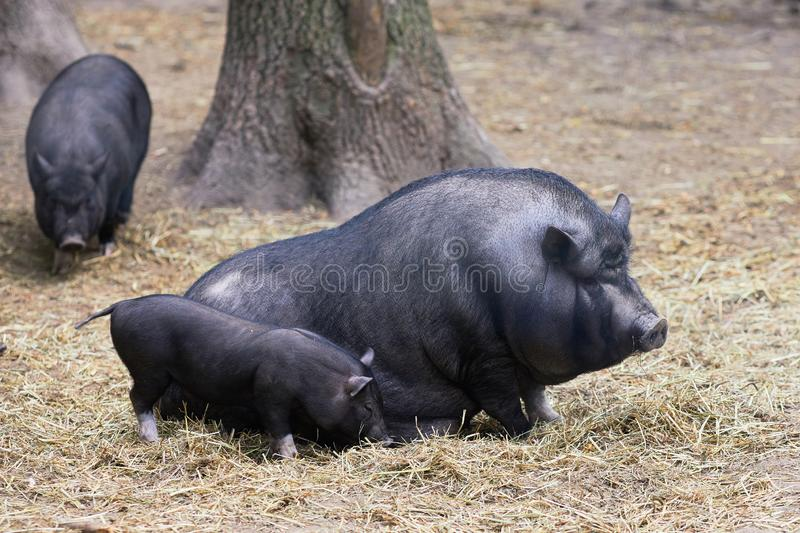 Pair of pigs are taking a nap stock photography