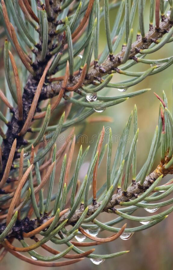 A Pair of Pine Branches Bejeweled with Rain Drops stock photos