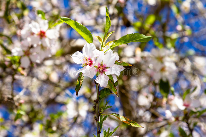 Pair of pink almond flowers on a branch stock photography