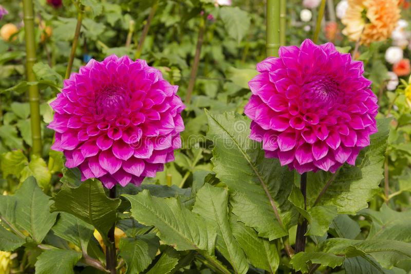 Pair of Pink Decorative Dahlias. This beautiful pair of pink magenta full double bloom flowers with wide petals belong to the variety called Decorative Dahlias stock photos