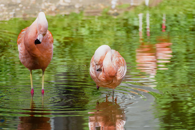 Pair of pink flamingos in a pond. Lanscape royalty free stock photography