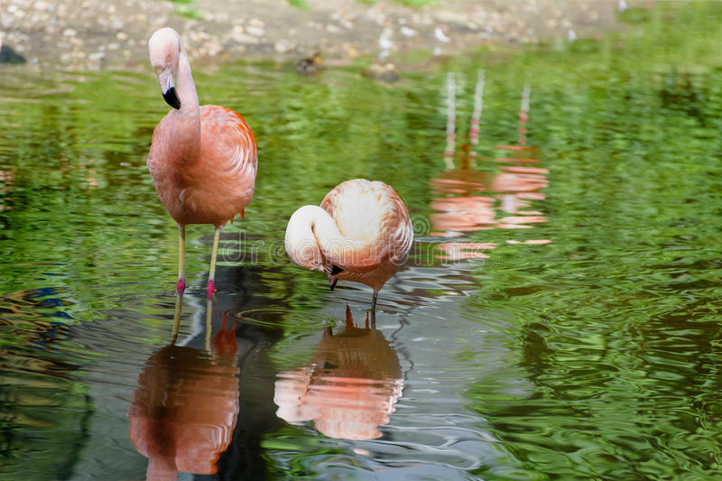 Pair of pink flamingos in a pond. Reflection in water. Lanscape stock image
