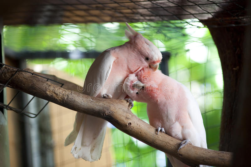 Pair of pink parrots royalty free stock image