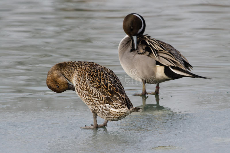 Pair of Pintail on the frozen lake Val Campotto Italy. Codon on the frozen lake Val Campotto Italy stock photography