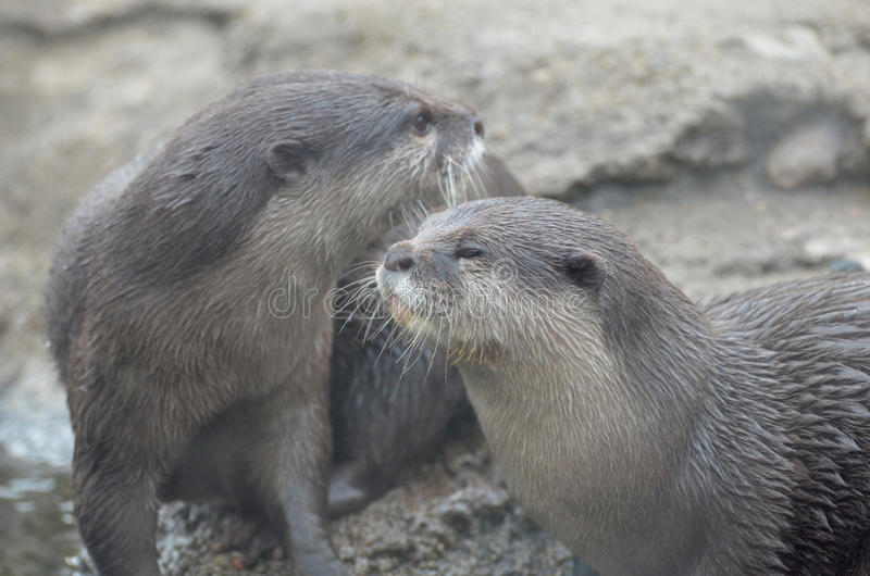 Pair of Playful River Otters Rolling Around royalty free stock photos