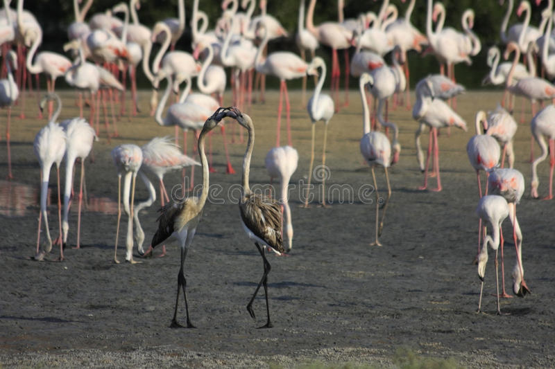 Download Pair Of Playing Young Flamingos Stock Photo - Image: 26575404