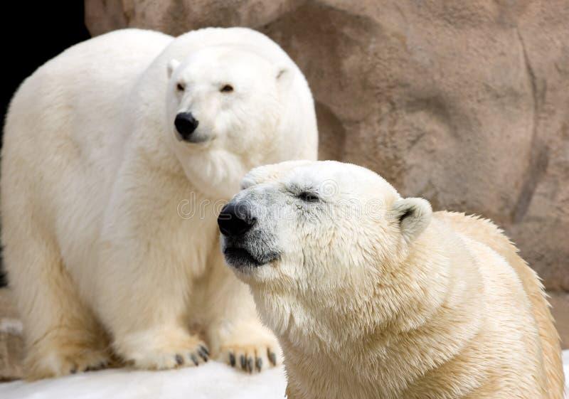Pair of Polar Bears royalty free stock photos