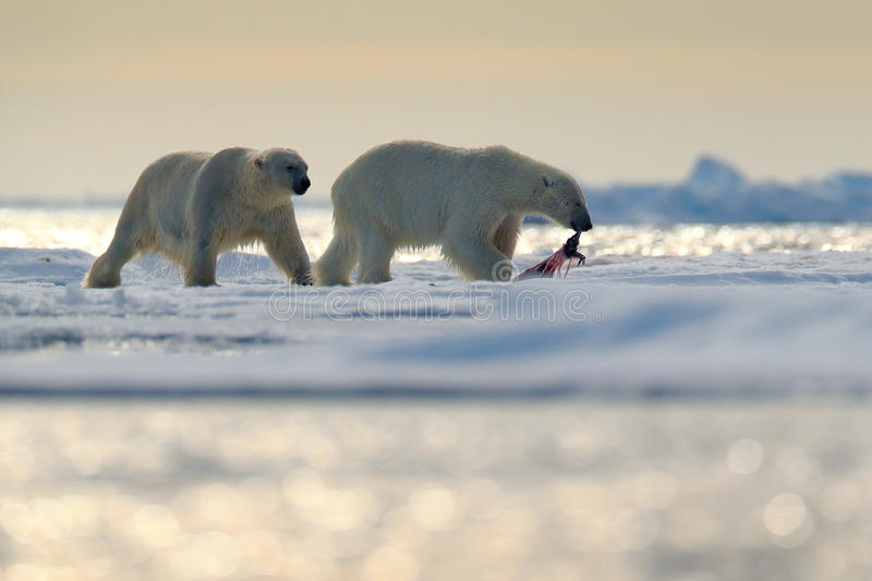 Pair polar bears with seal pelt after feeding carcass on drift ice with snow and blue sky in Arctic Svalbard. Seal fur coat in pol. Pair polar bears with seal stock photography
