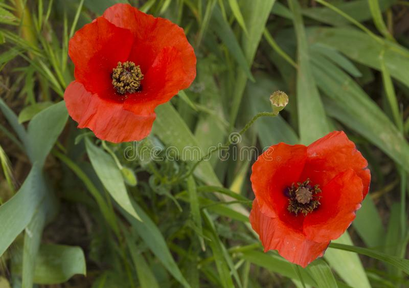 Pair of poppies in spring stock images