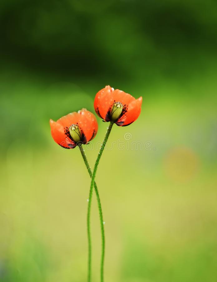 A pair of poppy flowers woven by stalks with each other. Artistic photo. Selective soft focus. royalty free stock image
