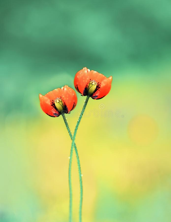A pair of poppy flowers woven by stalks with each other. Artistic photo. Selective soft focus royalty free stock images