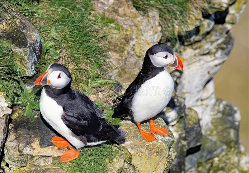 Pair of Puffins, back to back at Bempton Cliffs, East Yorkshire. Taken on a sunny April day, this image captures puffins gathering to mate on Bempton Cliffs, in stock images