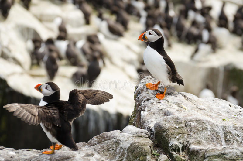 Pair of Puffins stock photography