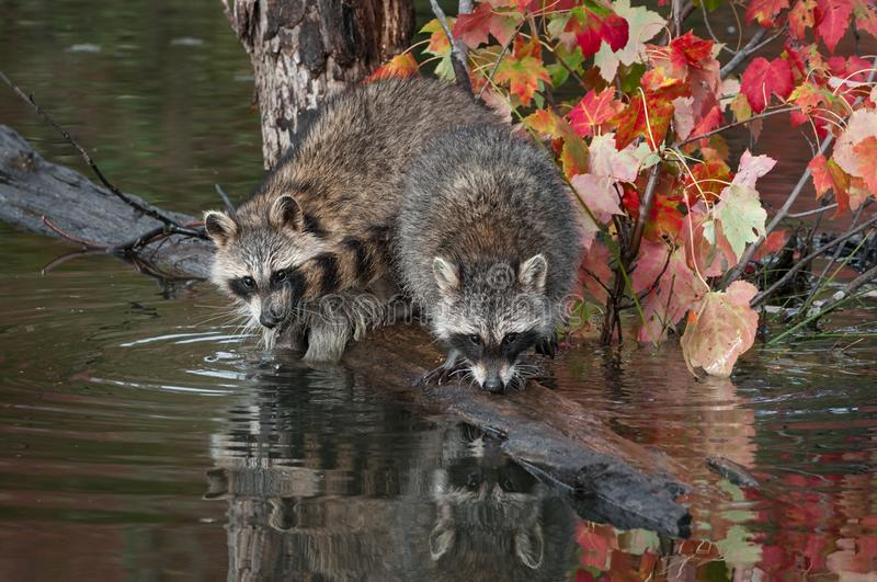 Pair of Raccoons Procyon lotor Noses Down on Logs in Pond Autumn royalty free stock photography