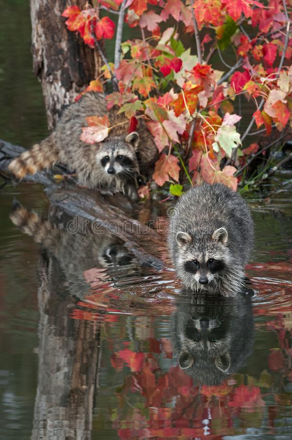 Pair of Raccoons Procyon lotor Stare Out from Logs in Pond Autumn royalty free stock images