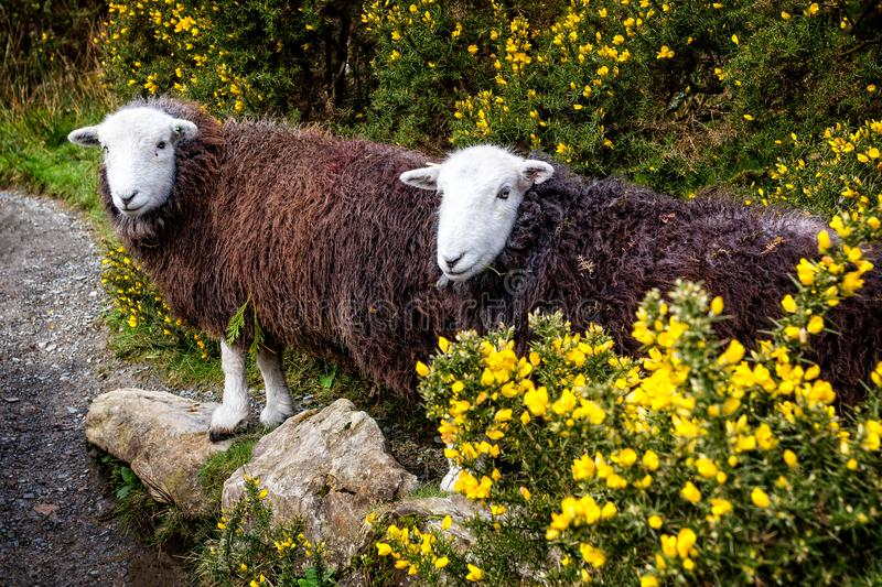 Pair of rare breed white headed and brown coated Herdwick Sheep in the Lake District stock photo