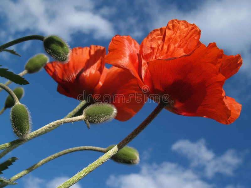 Pair of Red Poppies Stretching Skyward in May. Two tall Papaver rhoeas flowers and seed pods reach for blue sky in Quakertown, Pennsylvania, USA. Photographed royalty free stock photos