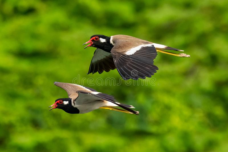 A pair of Red-Wattled Lapwing in flight with blur green tree  background stock photography