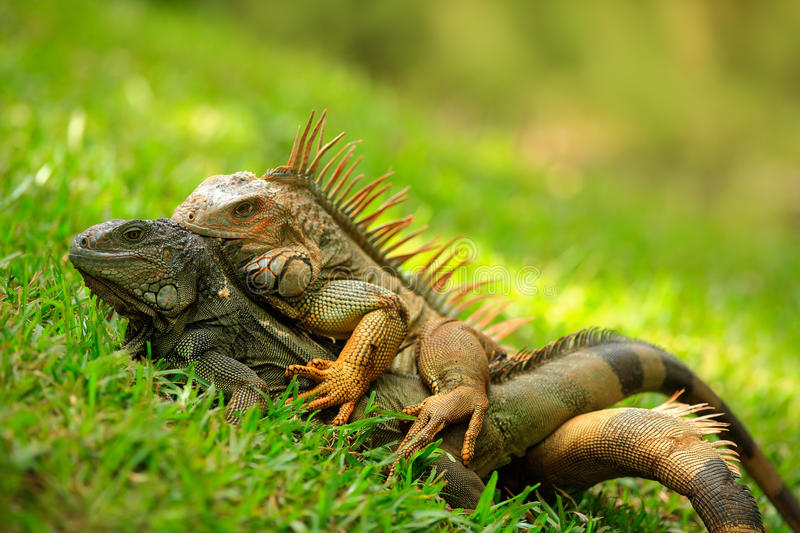 Pair of Reptiles, orange iguana, Ctenosaura similis, male and female sitting on black stone, chewing to head, animal in the nature. Costa Rica royalty free stock image