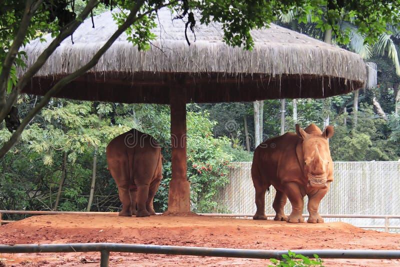 Pair of Rhinos - Sao Paulo Zoo stock image