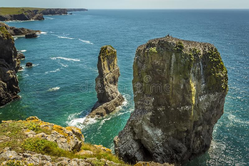 A pair of rock stacks with Raverbill Gulls on the Pembrokeshire coast, Wales stock photos