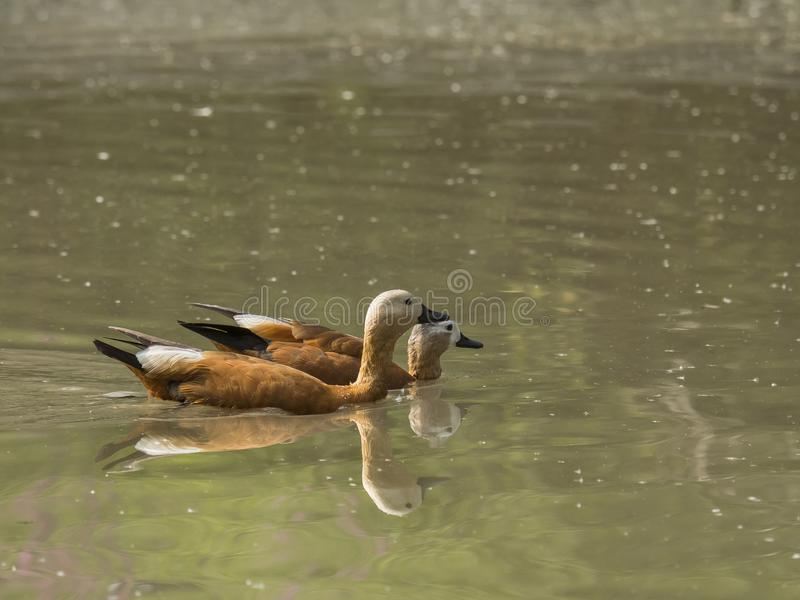 Pair of Ruddy Shelduck swim quiet in a pond stock photography