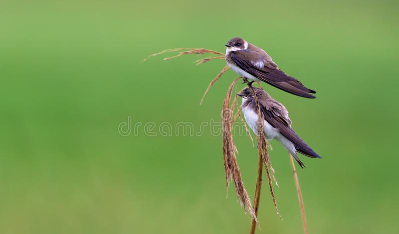 Pair of sand martins sit on a reed mace stems with green background stock photo
