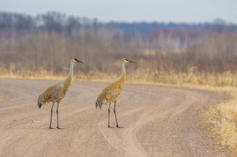 A pair of sandhill cranes on a rural gravel road - taken in the Crex Meadows Wildlife Area in Northern Wisconsin.  royalty free stock images