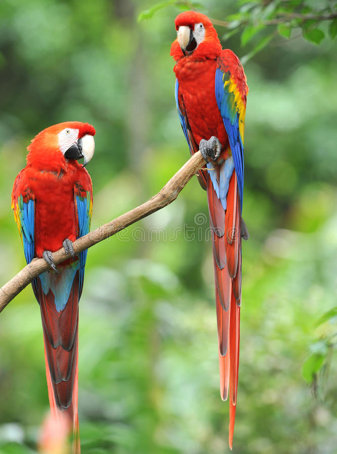 Pair of scarlet macaws in tree, costa rica royalty free stock image