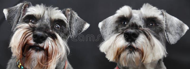 Pair of Schnauzer dogs stock photos