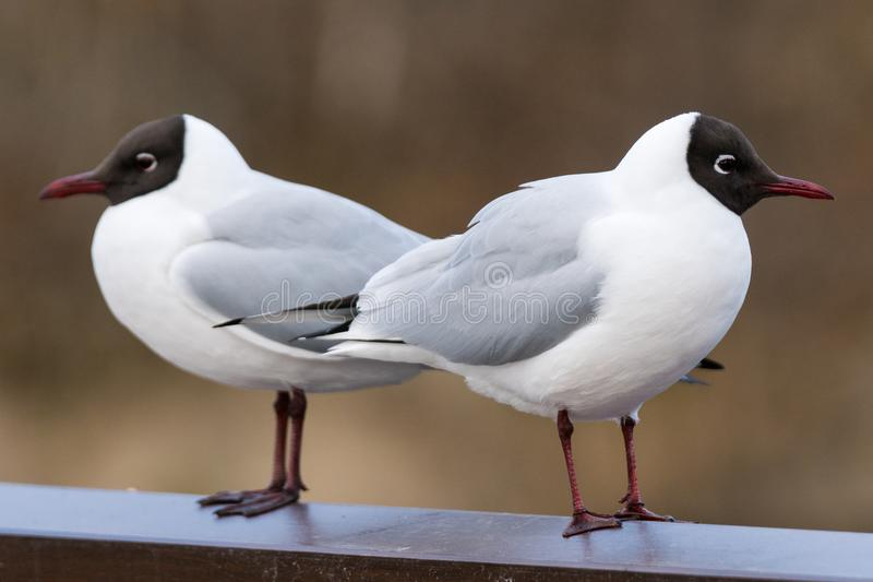 Pair of Sea gulls with brown head. Couple of sea gulls with brown head and red beak, sitting down, with backs against each other almost as they are mirrored stock image