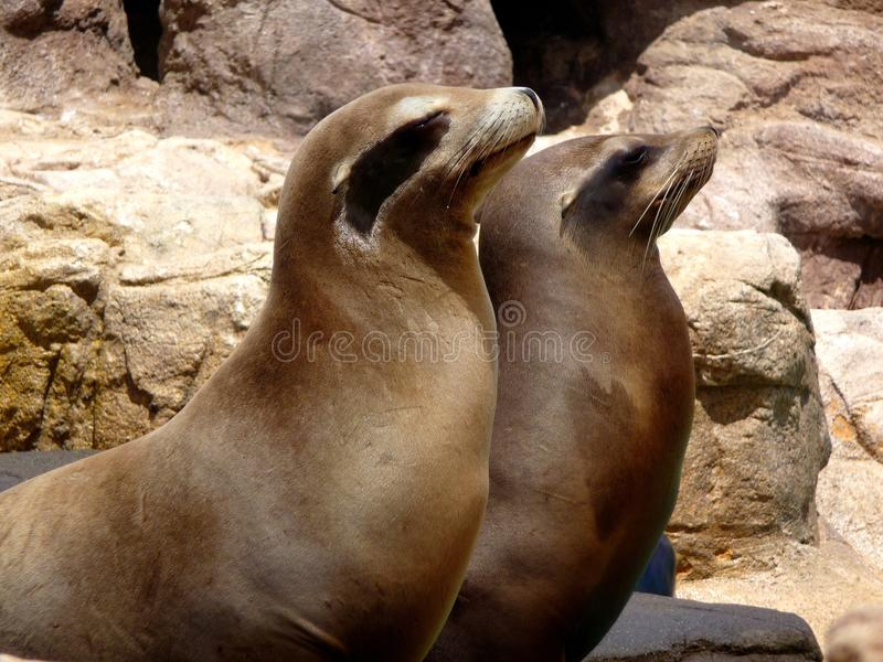 Pair of sea lions royalty free stock photo