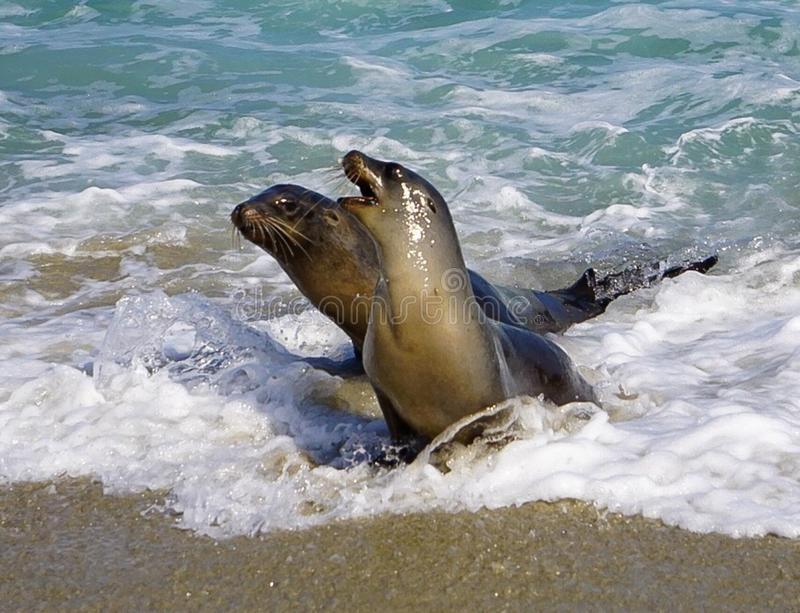 A Pair of Sea Lions. Playing at the ocean sands of the beach on the California Coast royalty free stock image