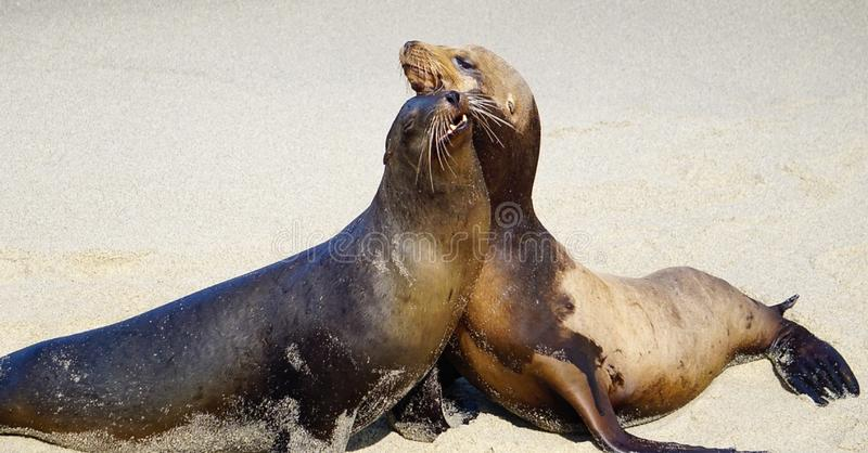 A pair of Sea Lions stock photo