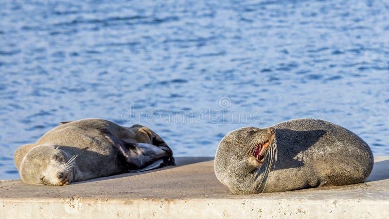 Pair of sea lions on the rocks of Kingscote, Kangaroo Island, Southern Australia. One sleeps and the other growls. Pair of sea lions on the rocks of Kingscote royalty free stock photo