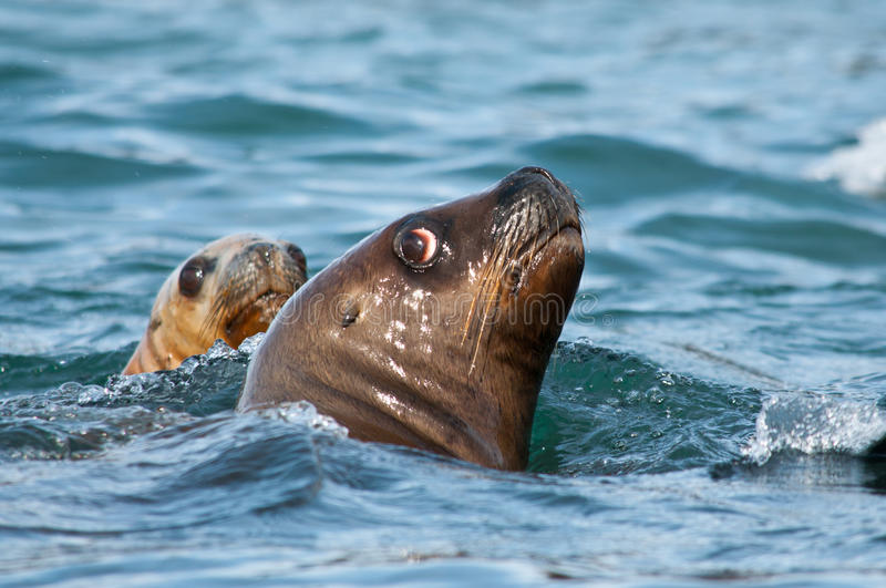Pair of sea lions royalty free stock image