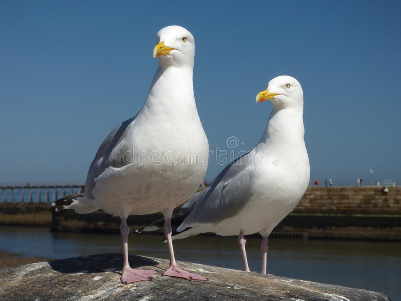 A pair of Seabirds on wall royalty free stock photo