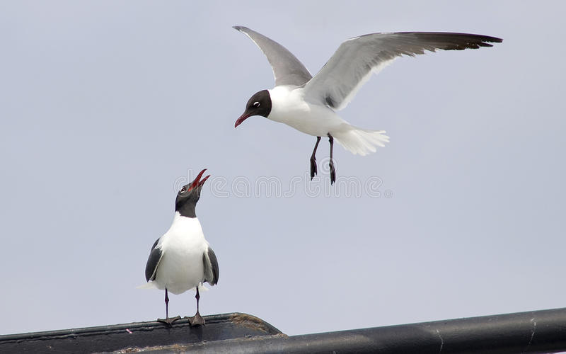Pair Of Seagulls Royalty Free Stock Photo